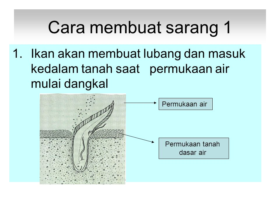 Cara membuat sarang 1 1.Ikan akan membuat lubang dan masuk kedalam tanah saat permukaan air mulai dangkal Permukaan air Permukaan tanah dasar air