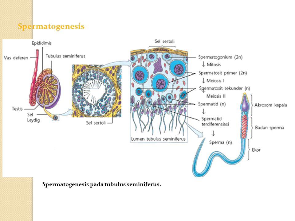 Spermatogenesis Spermatogenesis pada tubulus seminiferus.