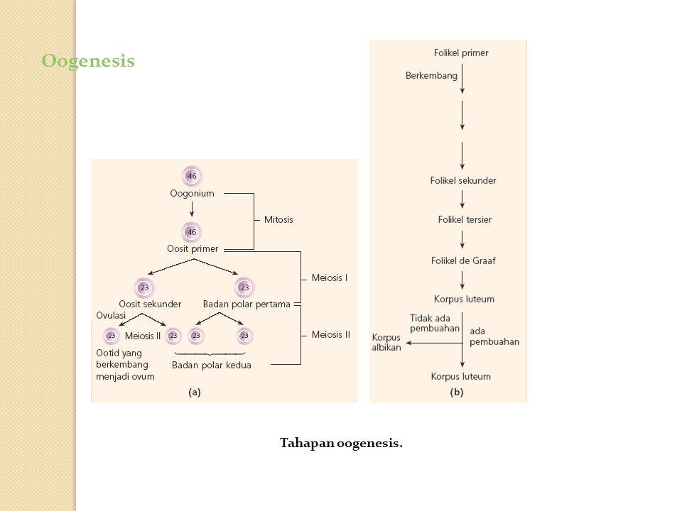 Oogenesis Oogenesis pada ovarium.