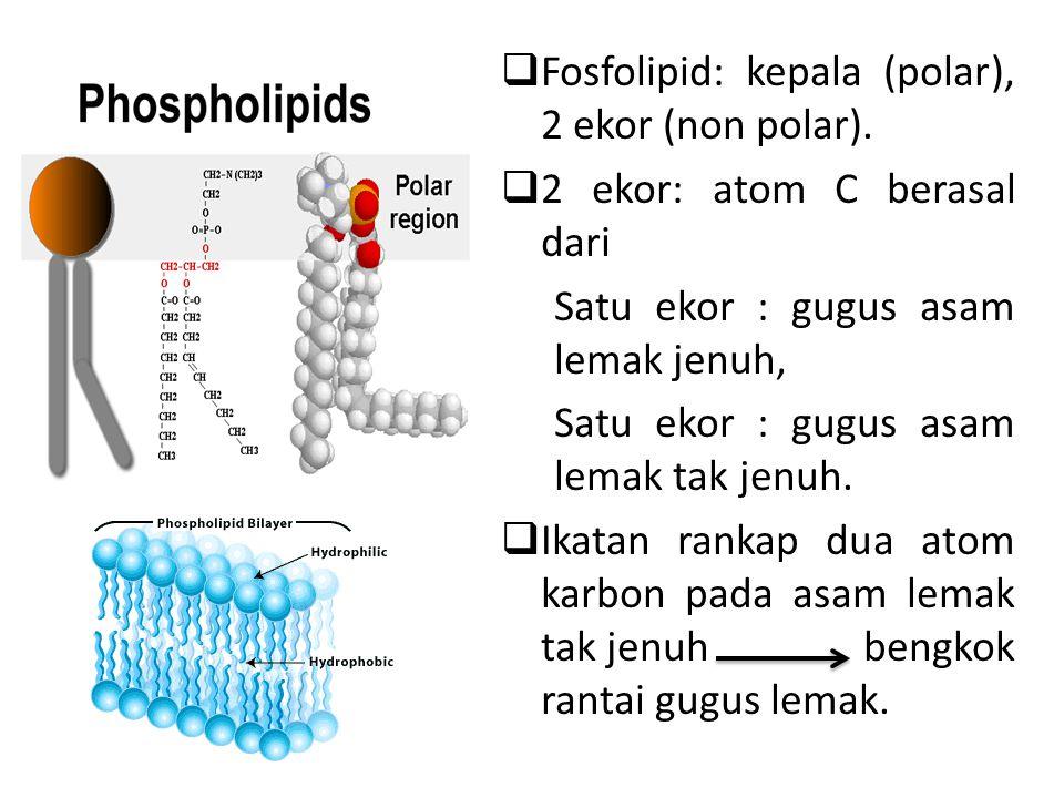  Fosfolipid: kepala (polar), 2 ekor (non polar).  2 ekor: atom C berasal dari Satu ekor : gugus asam lemak jenuh, Satu ekor : gugus asam lemak tak j