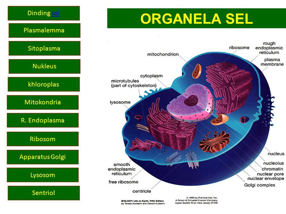 Apparatus Golgi Nukleus Mitokondria R. Endoplasma Ribosom Sentriol khloroplas Lysosom Plasmalemma ORGANELA SEL Dinding selsel Sitoplasma