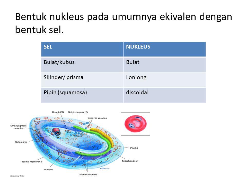 Bentuk nukleus pada umumnya ekivalen dengan bentuk sel. SELNUKLEUS Bulat/kubusBulat Silinder/ prismaLonjong Pipih (squamosa)discoidal