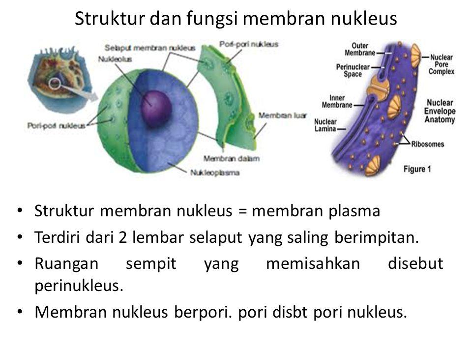 Struktur dan fungsi membran nukleus Struktur membran nukleus = membran plasma Terdiri dari 2 lembar selaput yang saling berimpitan. Ruangan sempit yan