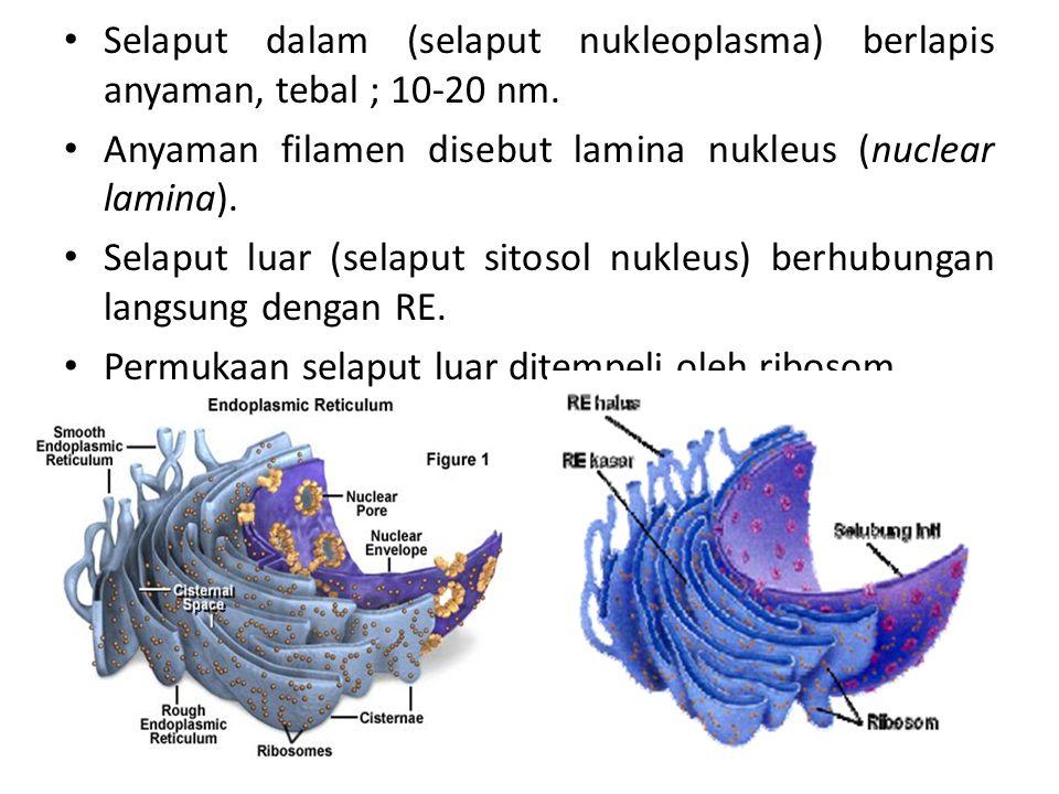 Selaput dalam (selaput nukleoplasma) berlapis anyaman, tebal ; 10-20 nm. Anyaman filamen disebut lamina nukleus (nuclear lamina). Selaput luar (selapu