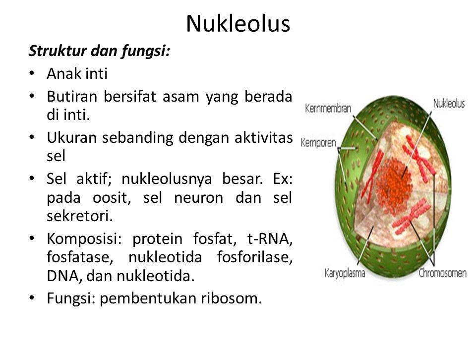 Nukleolus Struktur dan fungsi: Anak inti Butiran bersifat asam yang berada di inti. Ukuran sebanding dengan aktivitas sel Sel aktif; nukleolusnya besa
