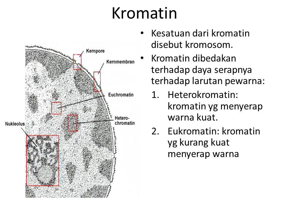 Kromatin Kesatuan dari kromatin disebut kromosom. Kromatin dibedakan terhadap daya serapnya terhadap larutan pewarna: 1.Heterokromatin: kromatin yg me