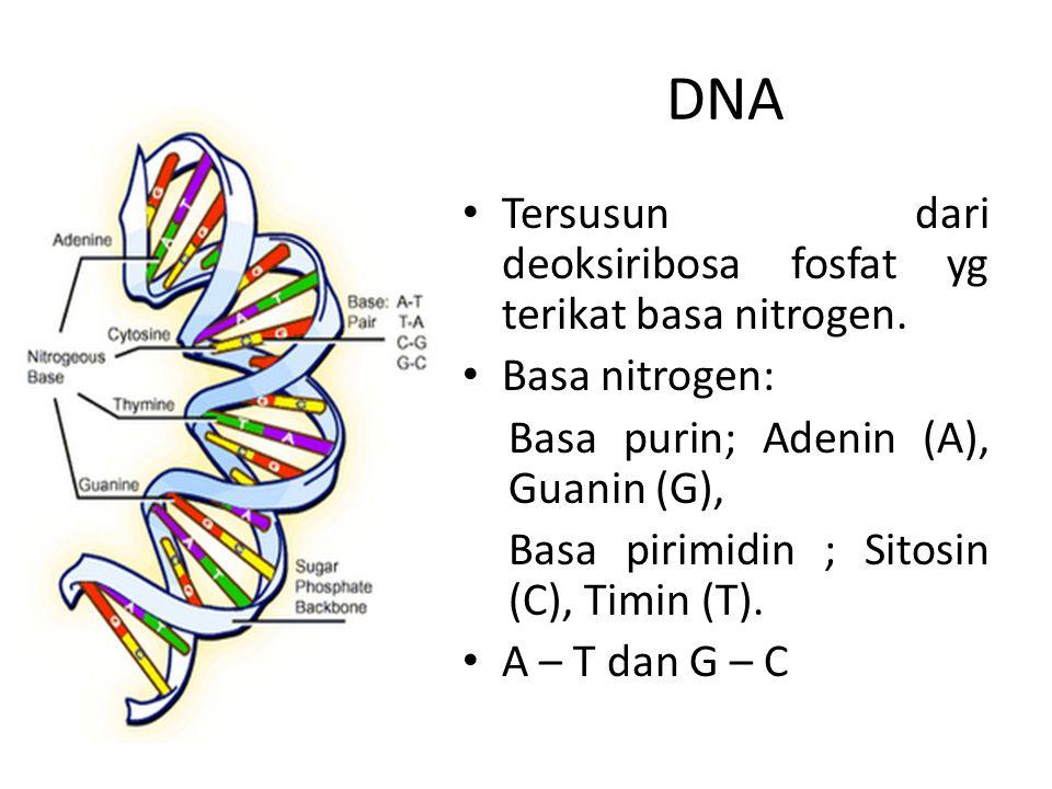 Tersusun dari deoksiribosa fosfat yg terikat basa nitrogen. Basa nitrogen: Basa purin; Adenin (A), Guanin (G), Basa pirimidin ; Sitosin (C), Timin (T)