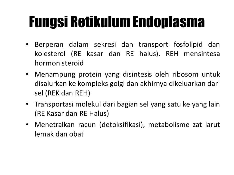 Fungsi Retikulum Endoplasma Berperan dalam sekresi dan transport fosfolipid dan kolesterol (RE kasar dan RE halus). REH mensintesa hormon steroid Mena