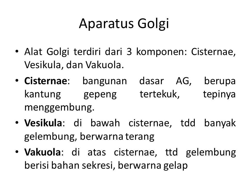 Aparatus Golgi Alat Golgi terdiri dari 3 komponen: Cisternae, Vesikula, dan Vakuola. Cisternae: bangunan dasar AG, berupa kantung gepeng tertekuk, tep