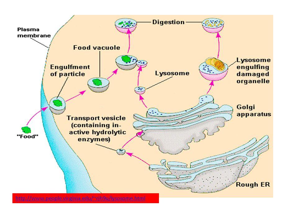 http://www.people.virginia.edu/~rjh9u/lysosome.html