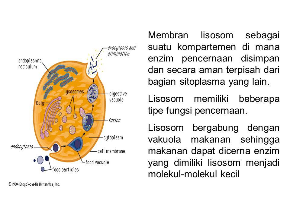 Membran lisosom sebagai suatu kompartemen di mana enzim pencernaan disimpan dan secara aman terpisah dari bagian sitoplasma yang lain. Lisosom memilik