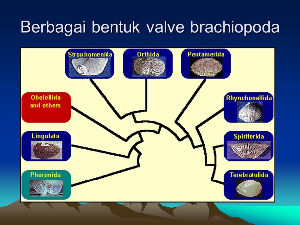Berbagai bentuk valve brachiopoda