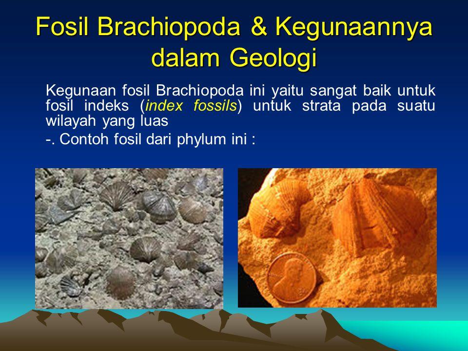 Fosil Brachiopoda & Kegunaannya dalam Geologi Kegunaan fosil Brachiopoda ini yaitu sangat baik untuk fosil indeks (index fossils) untuk strata pada su