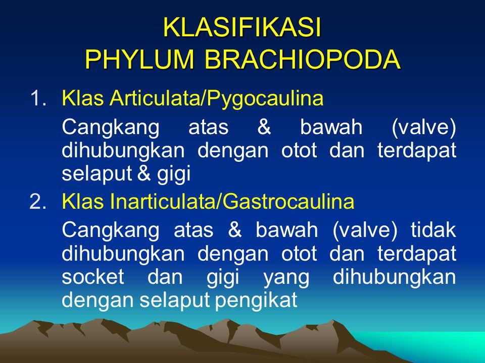 KLASIFIKASI PHYLUM BRACHIOPODA 1.Klas Articulata/Pygocaulina Cangkang atas & bawah (valve) dihubungkan dengan otot dan terdapat selaput & gigi 2.Klas