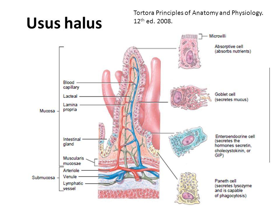 Usus halus Duodenum, jejunum, ileum Plicae circulare (circular fold) Fungsi: – Mencerna KH, protein, lipid, as. nukleat – Menyerap 90% nutrien dan air