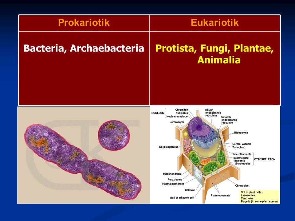 Protista, Fungi, Plantae, Animalia Bacteria, Archaebacteria EukariotikProkariotik Rod-Shaped Bacterium, E.