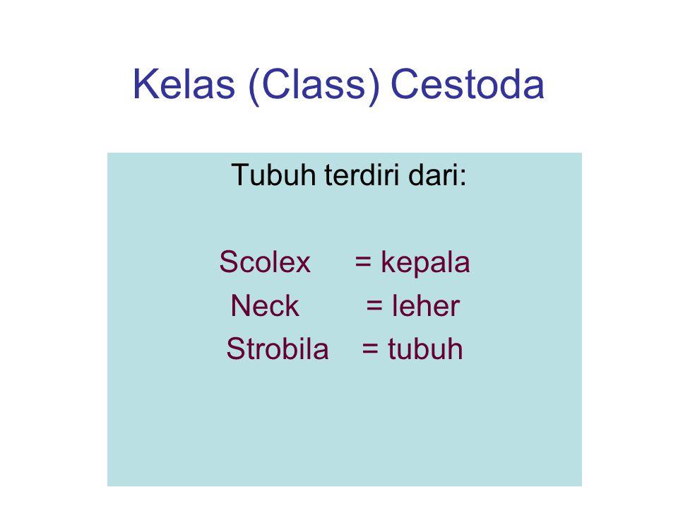 Kelas (Class) Cestoda Tubuh terdiri dari: Scolex= kepala Neck= leher Strobila= tubuh