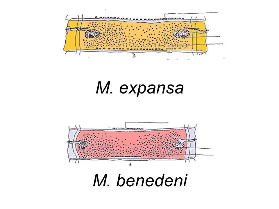M. expansa M. benedeni