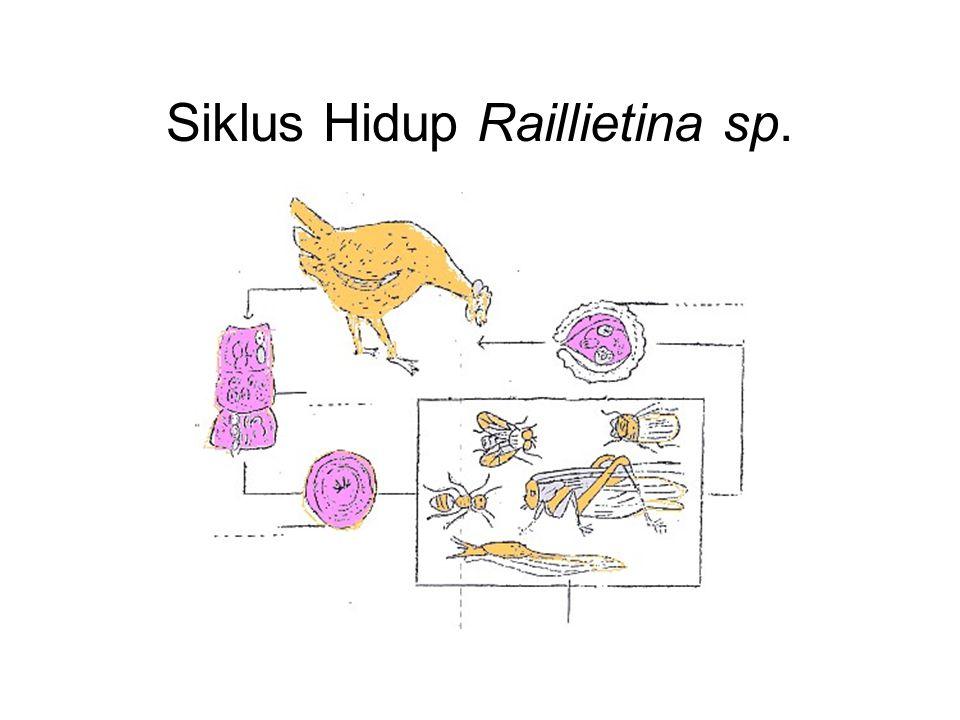 Siklus Hidup Raillietina sp.