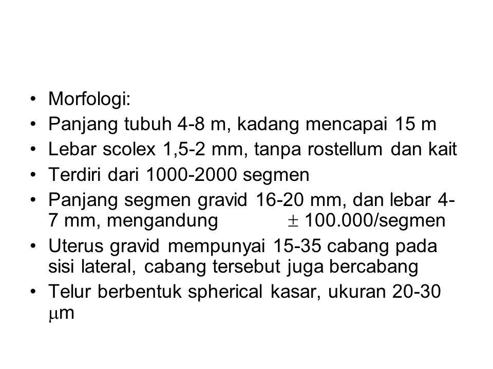Morfologi: Panjang tubuh 4-8 m, kadang mencapai 15 m Lebar scolex 1,5-2 mm, tanpa rostellum dan kait Terdiri dari 1000-2000 segmen Panjang segmen gravid 16-20 mm, dan lebar 4- 7 mm, mengandung  100.000/segmen Uterus gravid mempunyai 15-35 cabang pada sisi lateral, cabang tersebut juga bercabang Telur berbentuk spherical kasar, ukuran 20-30  m