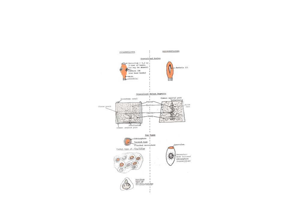Morfologi: Panjang 2-10 m atau lebih Terdiri dari 3000 segmen atau lebih Pada waktu masih hidup berwarna kuning abu-abu & ditengahnya berwarna gelap (karena uterus + telur) Bentuk scolex memanjang, ukuran 2-3 mm + bothridia di bagian ventral dan dorsal.