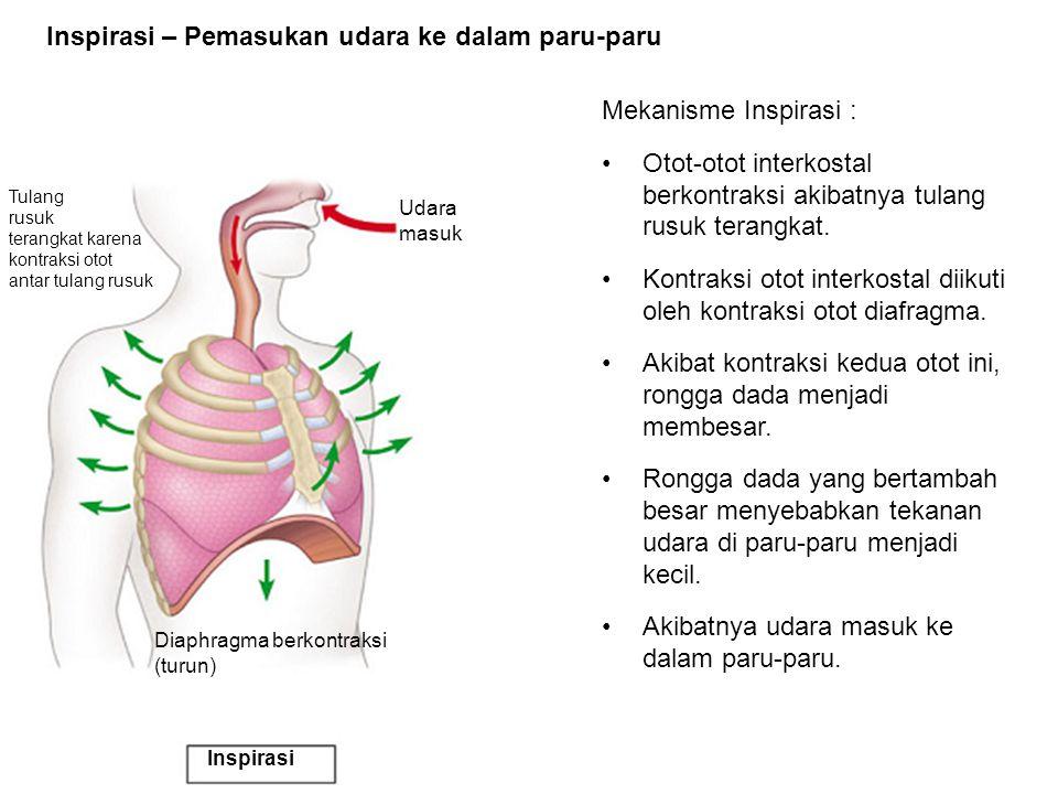 Tulang rusuk terangkat karena kontraksi otot antar tulang rusuk Udara masuk Diaphragma berkontraksi (turun) Inspirasi Inspirasi – Pemasukan udara ke d