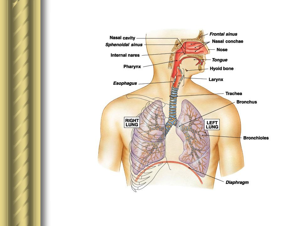 KAPASITAS PARU - PARU 1.Kapasitas InspirasiKapasitas Inspirasi 2.Kapasitas Residual FungsionalKapasitas Residual Fungsional 3.Kapasitas VitalKapasitas Vital 4.Kapasitas Total paru – paruKapasitas Total paru – paru