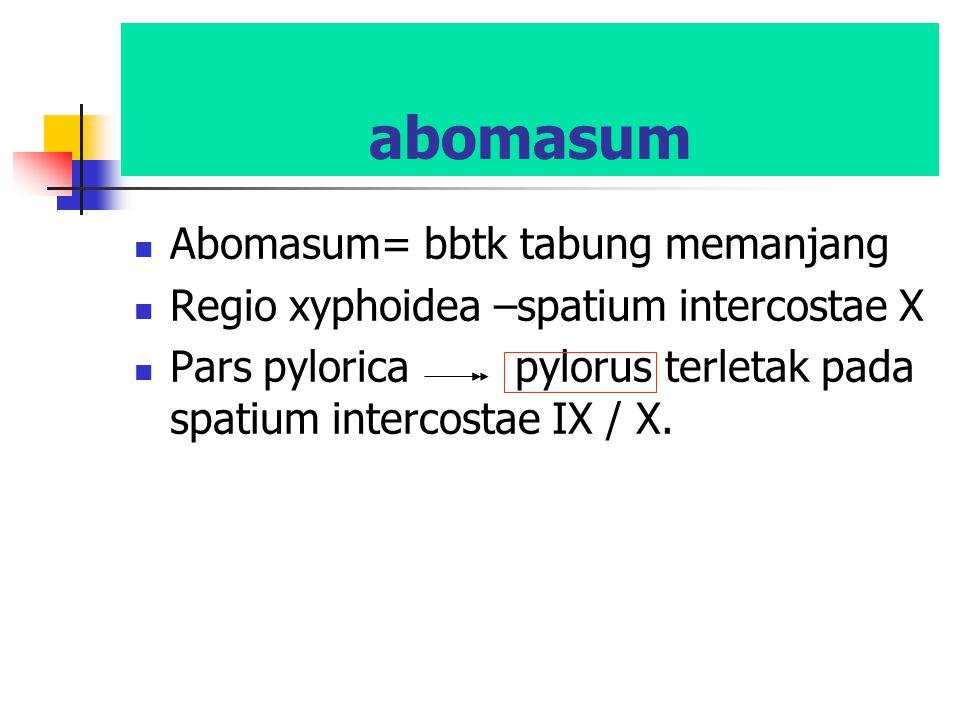 abomasum Abomasum= bbtk tabung memanjang Regio xyphoidea –spatium intercostae X Pars pylorica pylorus terletak pada spatium intercostae IX / X.
