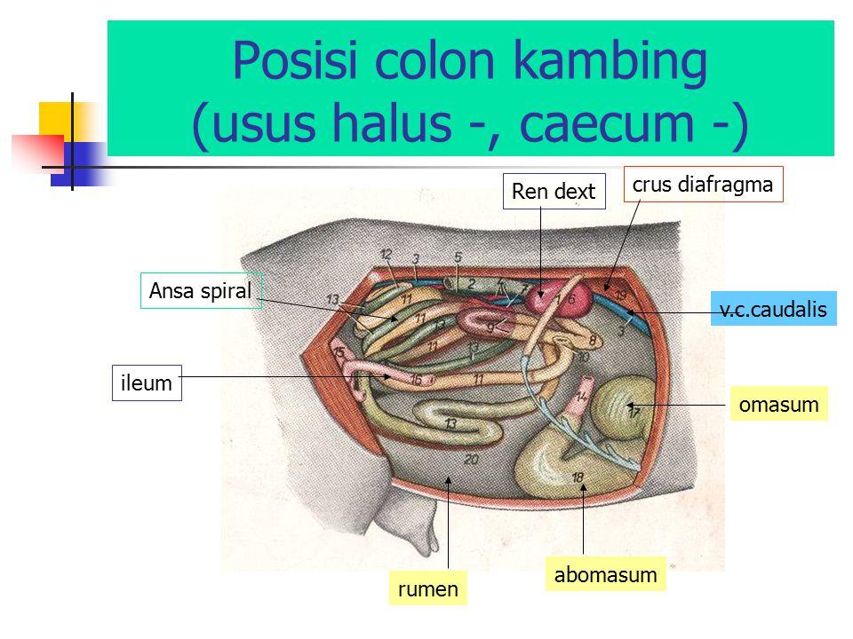 Posisi colon kambing (usus halus -, caecum -) rumen abomasum omasum v.c.caudalis crus diafragma Ren dext Ansa spiral ileum