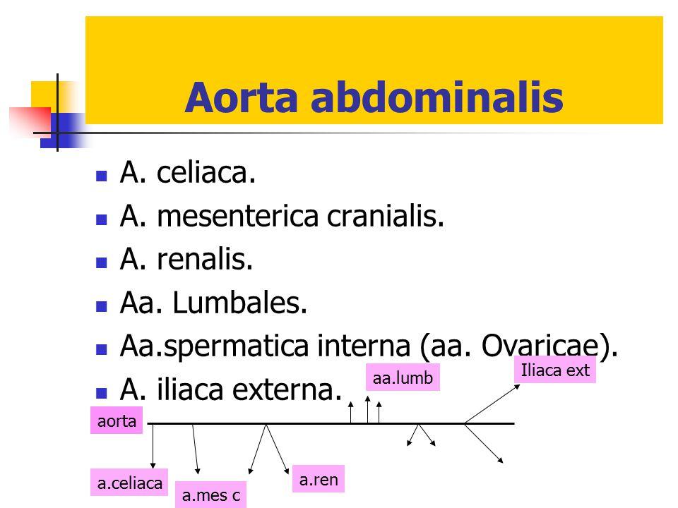 Aorta abdominalis A. celiaca. A. mesenterica cranialis. A. renalis. Aa. Lumbales. Aa.spermatica interna (aa. Ovaricae). A. iliaca externa. Iliaca ext