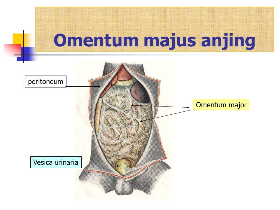 Omentum majus anjing Omentum major Vesica urinaria peritoneum