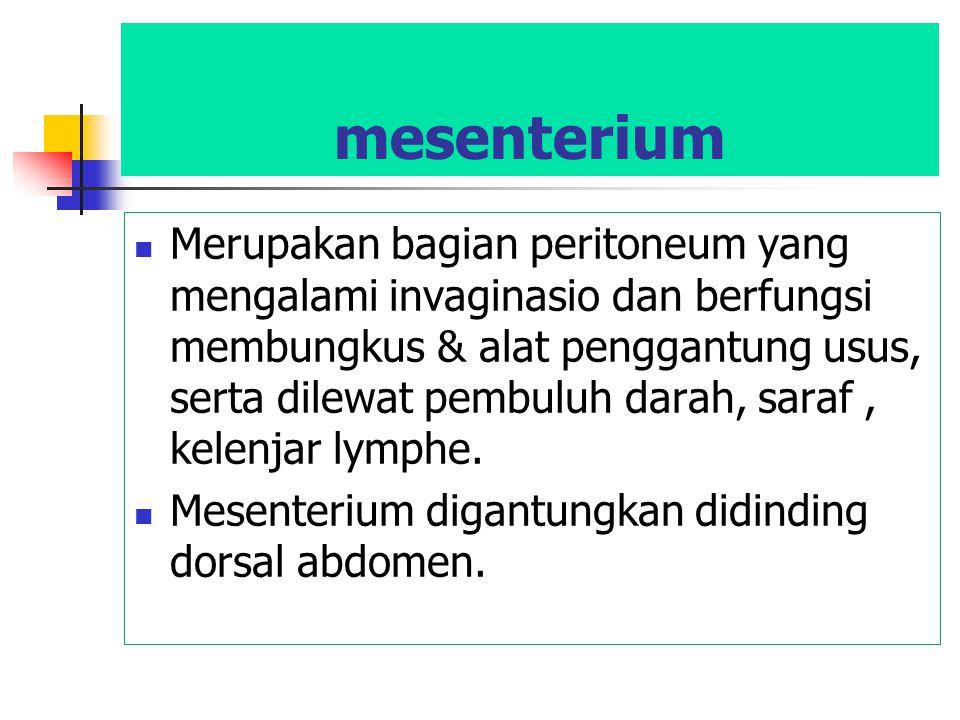 mesenterium Merupakan bagian peritoneum yang mengalami invaginasio dan berfungsi membungkus & alat penggantung usus, serta dilewat pembuluh darah, sar