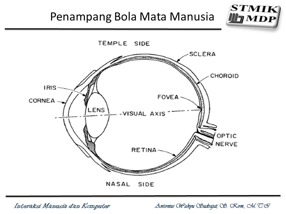 Interaksi Manusia dan Komputer Antonius Wahyu Sudrajat, S. Kom., M.T.I Penampang Bola Mata Manusia