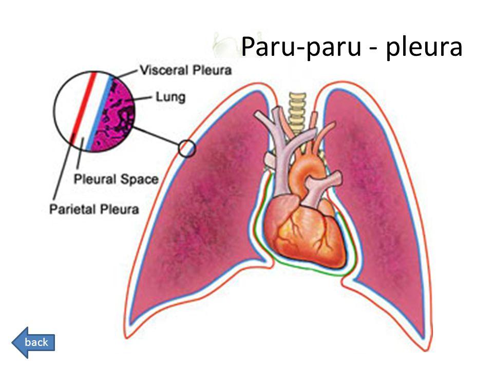 Paru-paru - pleura back