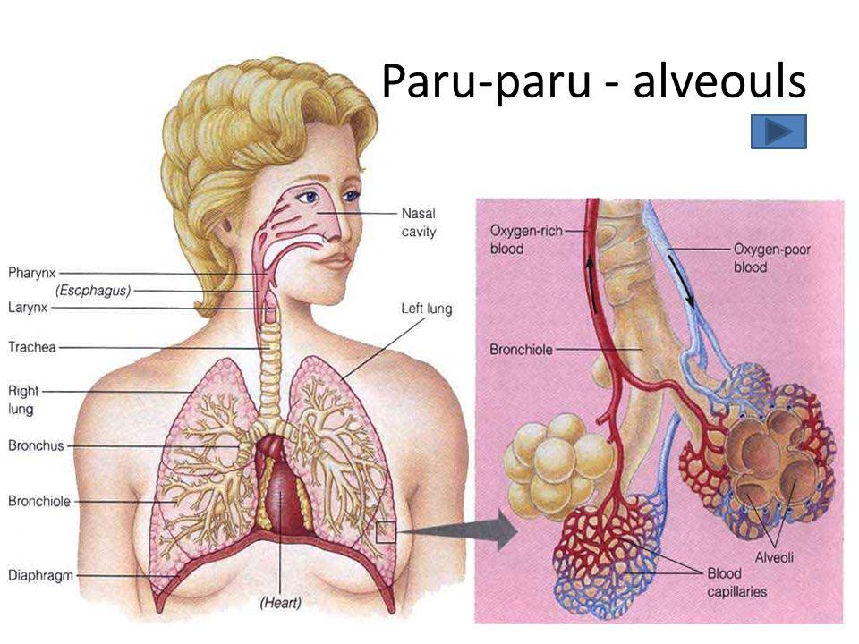 Paru-paru - alveouls