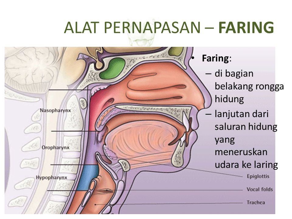 ALAT PERNAPASAN – LARING (PANGKAL TENGGOROKAN) Laring: – Terdiri dari lempengan tulang rawan – Bagian dalam dindingnya digerakan oleh otot  menutup glotis: lubang/celah menghubungkan faring-trakea – Terdapat selaput suara, bergetar jika ada dilalui udara, berbicara – Memiliki katup=epiglotis: selalu terbuka, menutup jika ada makanan masuk ke kerongkongan