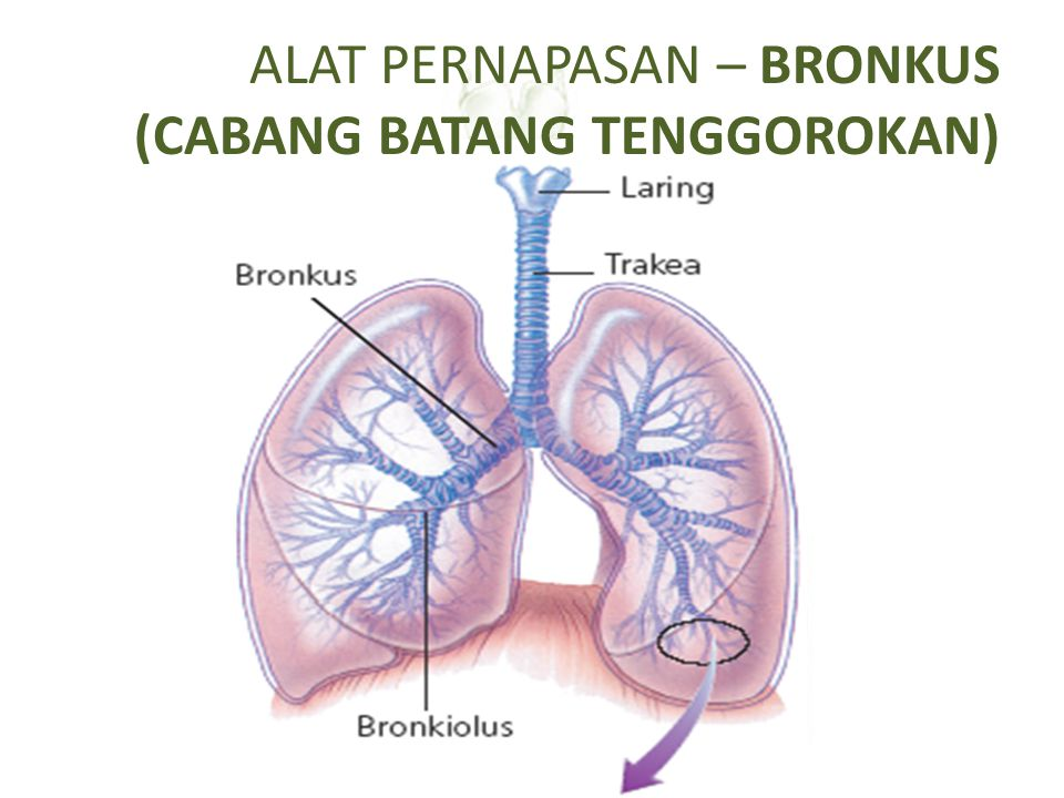 ALAT PERNAPASAN – PULMO Diselubingi oleh selaput elastis: pleurapleura Letak: di dalam rongga dada, di atas diafragma: sekat yang membatasi rongga dada dan rongga perut diafragma Paru-paru kanan 3 gelambir, paru-paru kiri 2 gelambirgelambir Terdapat bronkus dan bronkiolus  alveolus alveolus