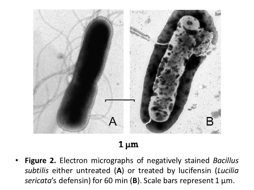 Figure 2. Electron micrographs of negatively stained Bacillus subtilis either untreated (A) or treated by lucifensin (Lucilia sericata's defensin) for