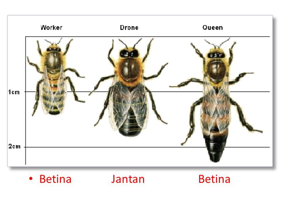 Glukosa (dari nektar) Sukrosa (dari nektar) Invertase (dalam perut lebah) Glukosa Asam glukonat + Hidrogen peroksida Glukosa oksidase (dalam perut lebah) Glukosa oksidase (dalam perut lebah) Fruktosa+ H 2 O + O 2