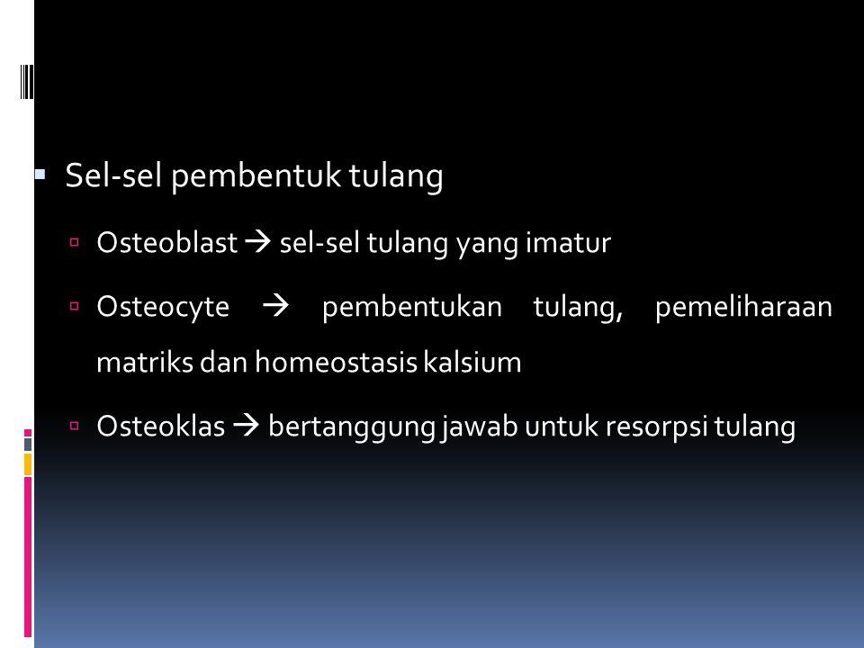  Sel-sel pembentuk tulang  Osteoblast  sel-sel tulang yang imatur  Osteocyte  pembentukan tulang, pemeliharaan matriks dan homeostasis kalsium  Osteoklas  bertanggung jawab untuk resorpsi tulang