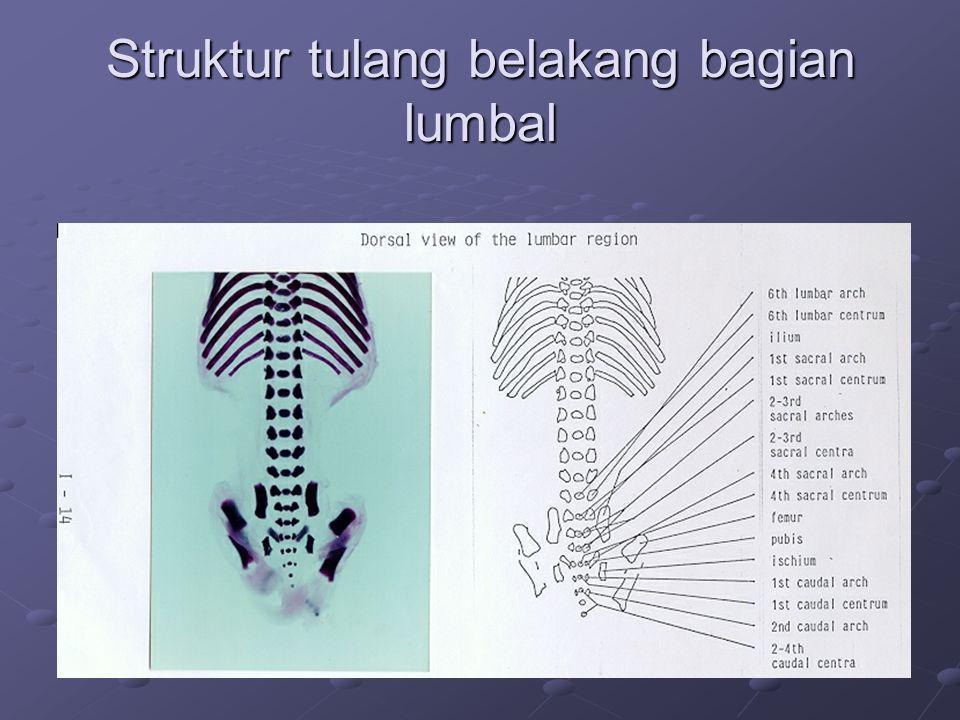 Struktur tulang belakang bagian lumbal