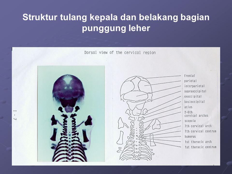 Struktur tulang kepala dan belakang bagian punggung leher