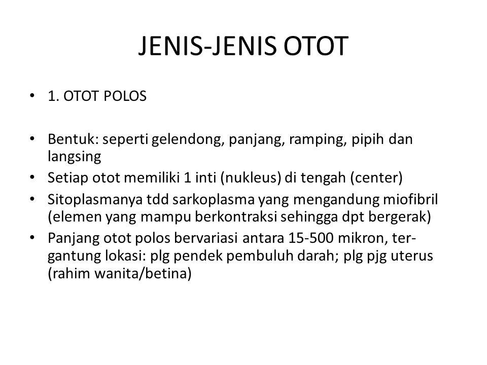 JENIS-JENIS OTOT 1. OTOT POLOS Bentuk: seperti gelendong, panjang, ramping, pipih dan langsing Setiap otot memiliki 1 inti (nukleus) di tengah (center