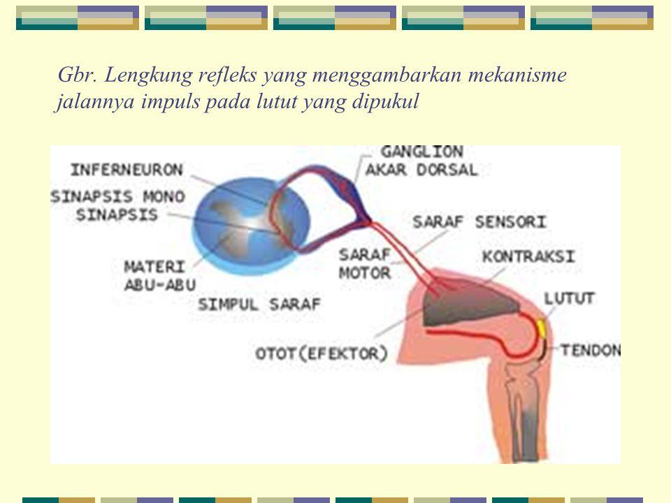 Gbr. Lengkung refleks yang menggambarkan mekanisme jalannya impuls pada lutut yang dipukul