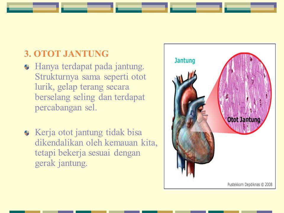 3. OTOT JANTUNG Hanya terdapat pada jantung. Strukturnya sama seperti otot lurik, gelap terang secara berselang seling dan terdapat percabangan sel. K