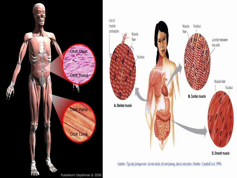 Isotonik & isomatrik dapat digunakan dalam terapi latihan Isotonik Exercises Isometrik Exercises