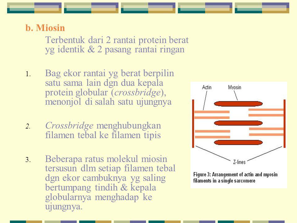 MIOFILAMEN Filamen tipis : actin  actin  troponin (suatu protein yang berbentuk globular yang tersusun atas 3 subunit )  tropomyosin (suatu molekul yang panjangnya bisa mencapai 40 nm) Filamen tebal : myosin  head/ kepala  hinge/ leher (engsel)  rod/ tubuh (batang)