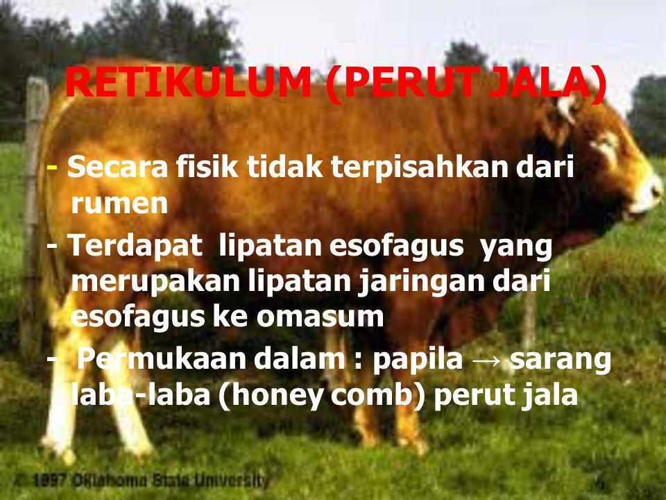 RETIKULUM (PERUT JALA) - Secara fisik tidak terpisahkan dari rumen - Terdapat lipatan esofagus yang merupakan lipatan jaringan dari esofagus ke omasum - Permukaan dalam : papila → sarang laba-laba (honey comb) perut jala