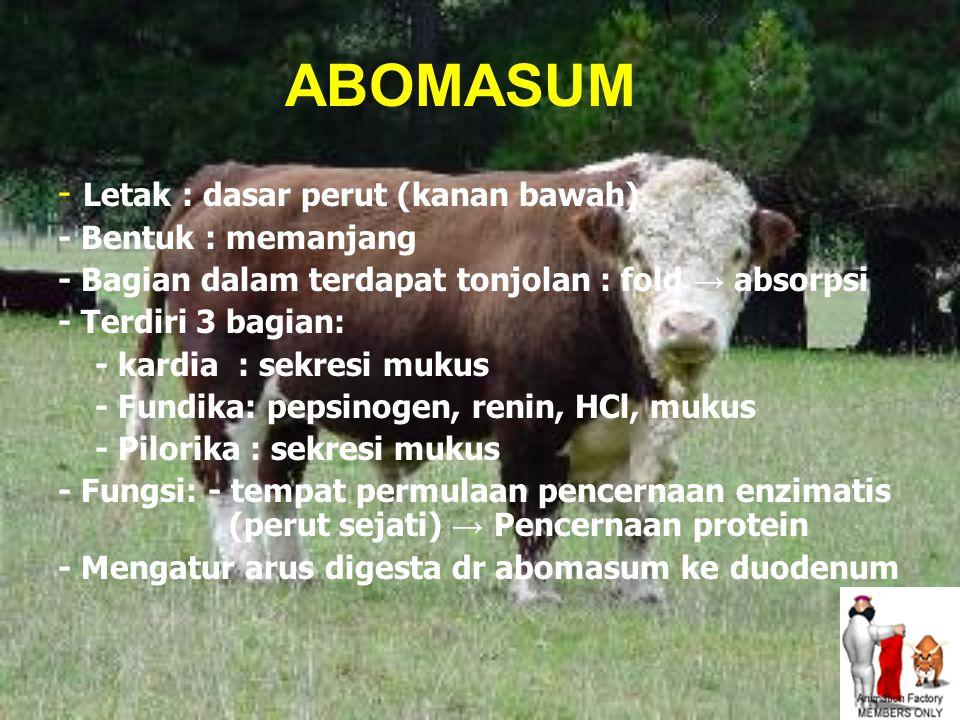 ABOMASUM - Letak : dasar perut (kanan bawah) - Bentuk : memanjang - Bagian dalam terdapat tonjolan : fold → absorpsi - Terdiri 3 bagian: - kardia : sekresi mukus - Fundika: pepsinogen, renin, HCl, mukus - Pilorika : sekresi mukus - Fungsi: - tempat permulaan pencernaan enzimatis (perut sejati) → Pencernaan protein - Mengatur arus digesta dr abomasum ke duodenum
