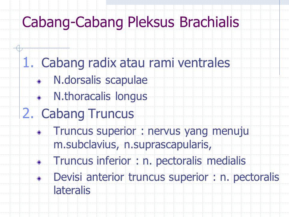 Cabang-Cabang Pleksus Brachialis 1. Cabang radix atau rami ventrales N.dorsalis scapulae N.thoracalis longus 2. Cabang Truncus Truncus superior : nerv